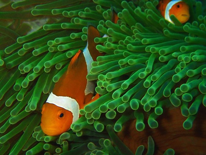 An image showing two clownfish swimming through coral.