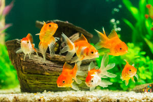 Photo of a group of goldfish swimming in a home aquarium.