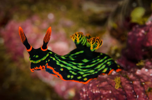 Picture of sea slug that are difficult aquarium fish to care for