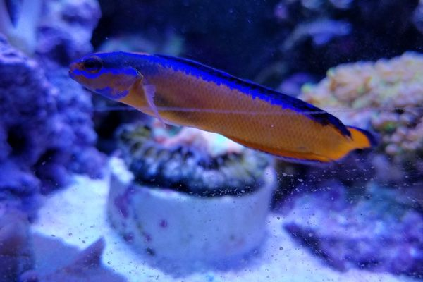 Picture of an orange and purple tropical fish.
