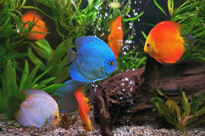 Two different species of fish share an aquarium.