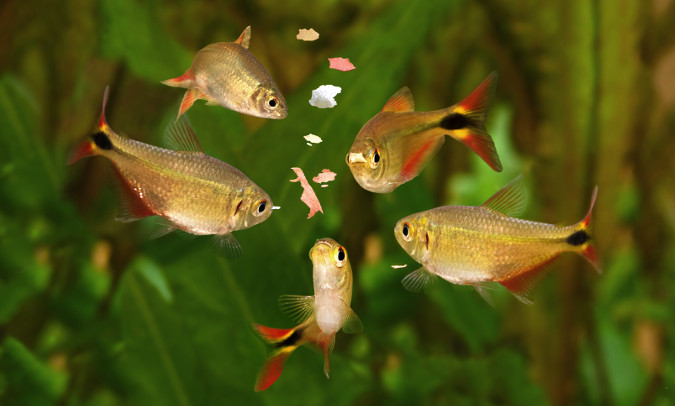 Multiple fish surround some fish food pellets.