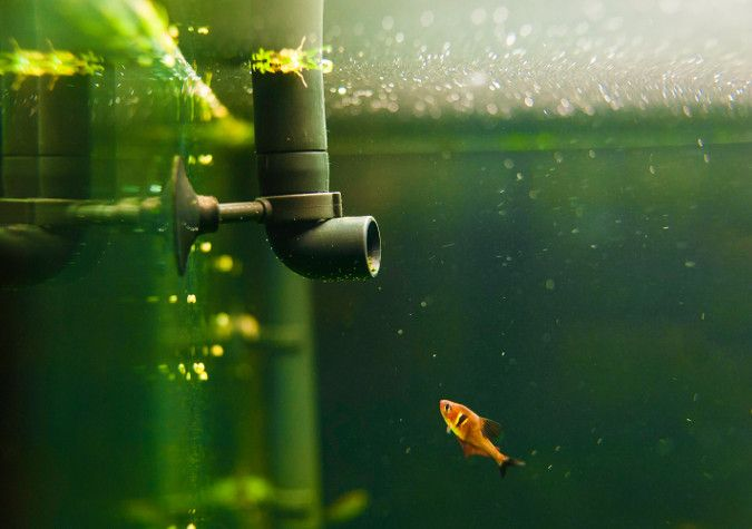 An orange fish swims up to the pipe on an aquarium filter.