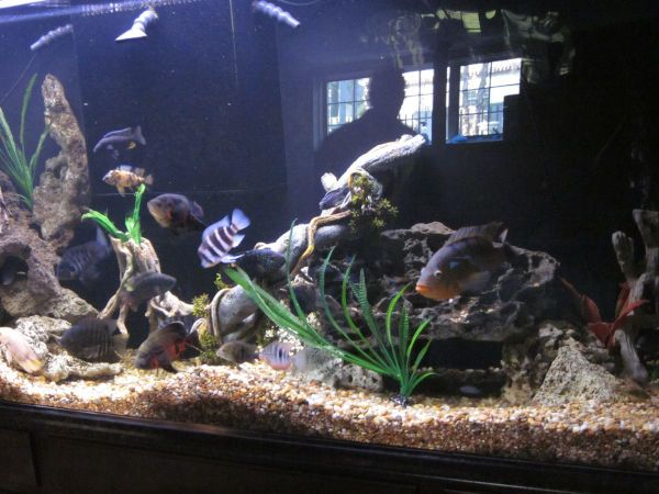 An image showing fish inside of an aquarium with gravel on the bottom.